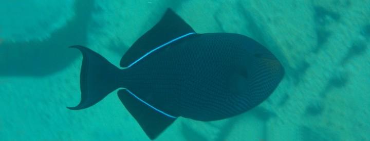 Black durgeon or Black triggerfish
